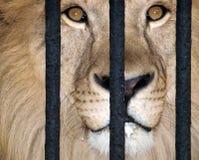 Lion behind bars. King of beats behind bars royalty free stock photography