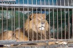 Lion behind bars cage at the zoo Stock Photo