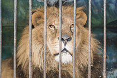 Lion behind bars cage at the zoo Royalty Free Stock Photo