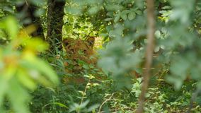 Lion behind the green forest. One Female lion hyden behind of the trees during the green season royalty free stock photos