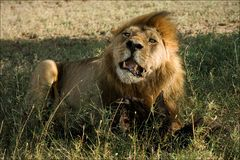 Lion behind a meal. Stock Photo