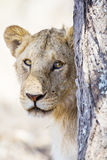 Lion behind tree in Africa Stock Photo