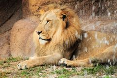 Lion behind waterfall Stock Photos
