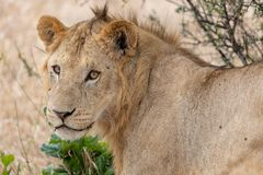 Lion watchful in the grasslands on the Masai Mara, Kenya Africa stock photo