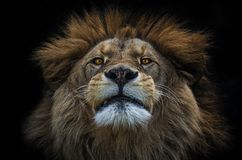 Lion Berber. In Olomouc-Czech republic Zoo stock image