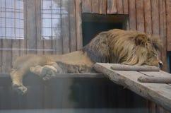 Lion. Big lion Stock Photos