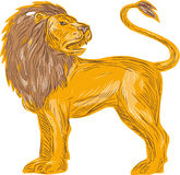 Lion Big Cat Roaring Drawing arrabbiato Fotografia Stock