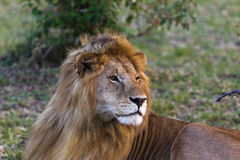 Lion. Big king of beasts. Masai Mara Stock Photo