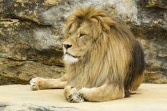 Lion. Big lion lying on stone Stock Image