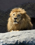 Lion. A big male African lion lying on the ground Royalty Free Stock Photos