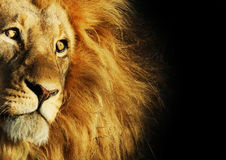 Lion. Big male lion watching as the the sun sets over the horizon stock image