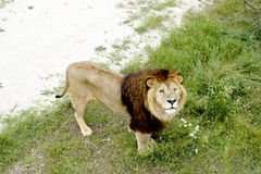 Lion. Big lion standing and looking up Royalty Free Stock Image