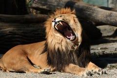 Lion, bâillement Photos stock