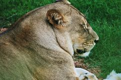 Lion in bioparc Royalty Free Stock Photography