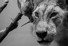 Lion and Bird. Head closeup Royalty Free Stock Photography