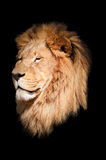 Lion black background Stock Photos