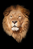 Lion black background Stock Image