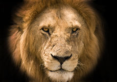 Lion black background Royalty Free Stock Photography
