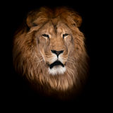 Lion on a black background. Royalty Free Stock Images