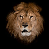 Lion on a black background. Stock Image