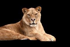 Lion on black background Stock Photo