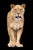 Lion on black background Royalty Free Stock Photos
