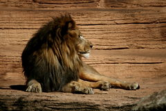 Lion King Stock Photography