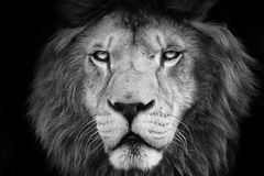 Lion with black white colour. Portrait lion with black and white colour. Face lion. Lion look at the camera.Photographs from the animal world. Black and white stock photos