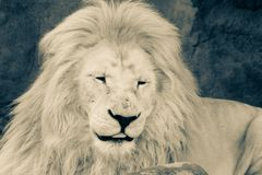 Lion, Black and white head shot of an adult Lion royalty free stock photo