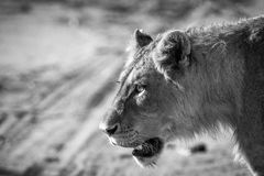 Lion in black and white in the Kruger National Park, South Africa. Side profile of a Lion in black and white in the Kruger National Park, South Africa royalty free stock image