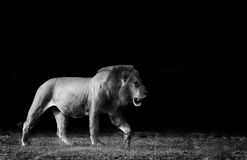 Lion in Black and White. Monochrome image of a wild African Lion royalty free stock photo