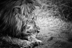 Lion black and white. Old male lion look in black and white stock image