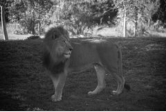 Lion in black and white style Stock Images