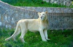 Lion blanc Photographie stock libre de droits