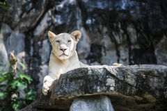 Lion blanc Image stock