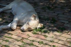 Lion blanc Photos libres de droits
