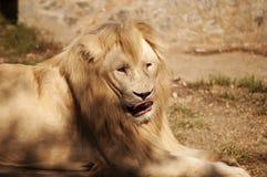 Lion blanc Photo libre de droits