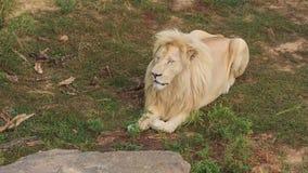 Lion blanc banque de vidéos