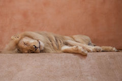 Lion blanc adulte de sommeil au fond naturel photographie stock