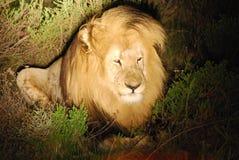 Lion blanc en Afrique Photos libres de droits