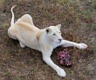 Lion blanc femelle Images libres de droits