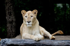 Lion blanc femelle Photos stock