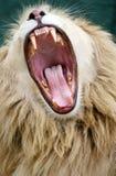Lion blanc grognant Images libres de droits