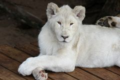 Lion blanc occasionnel Image libre de droits