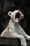 Lion blanc yawn2 Photo stock