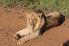 Lion blessé Photographie stock