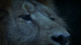 Lion Blinks In The Evening stock footage