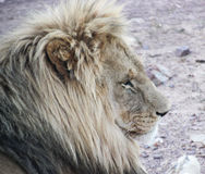 Lion. The BOSS - this lion was quite content surveying all around him with disdain. Beautiful Royalty Free Stock Photos