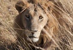 Lion, Botswana. Lion lining in the bush ,Chobe National park, Botswana Royalty Free Stock Image