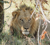 Lion in Botswana Royalty Free Stock Photography